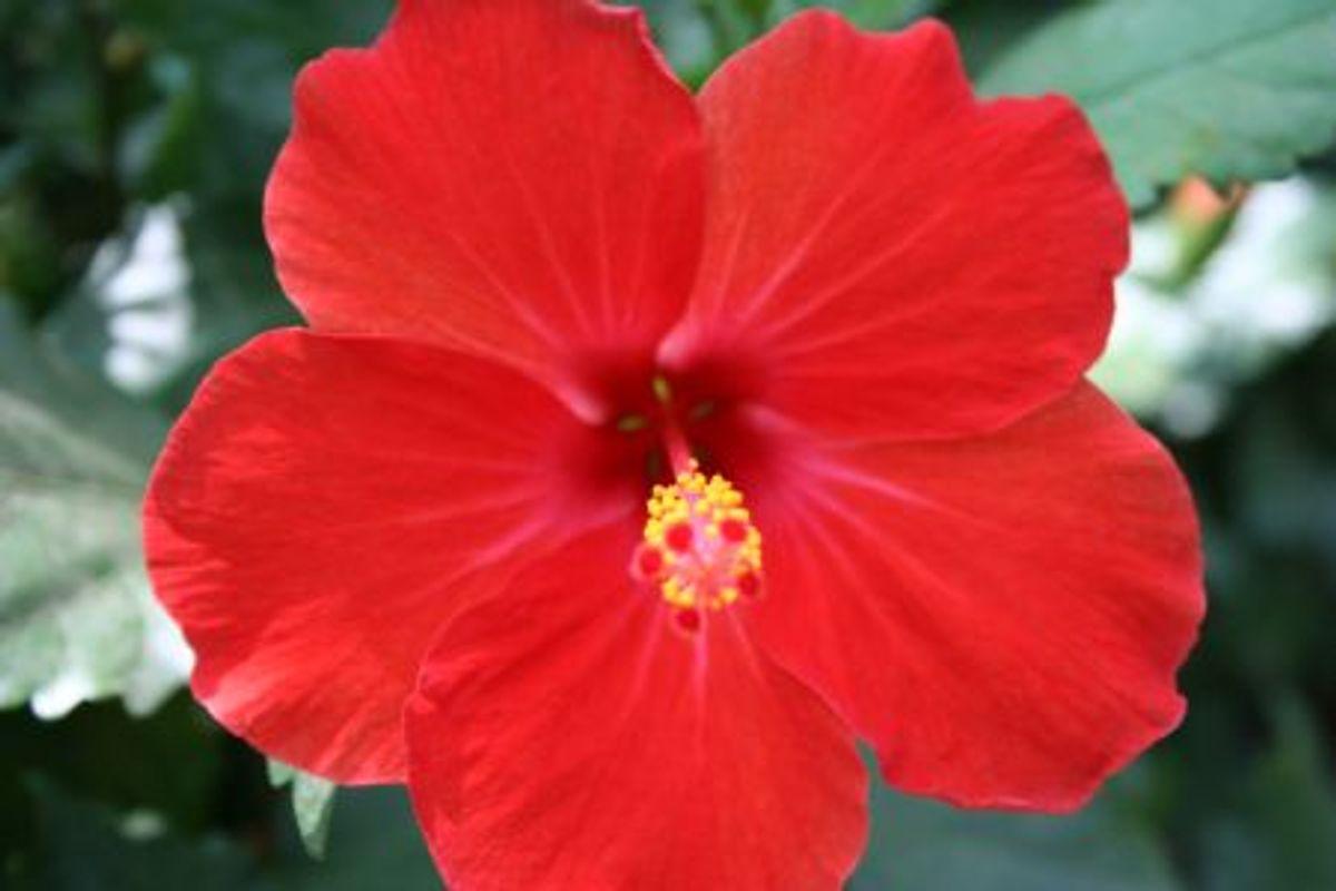 Beneficios De La Flor De Cayena Intervit